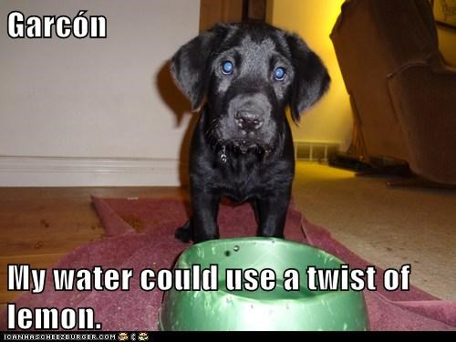dogs,puppy,bowl,water,lemon,garcon,french,waiter