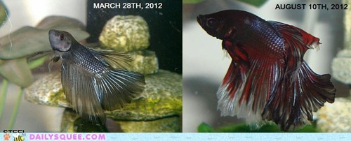 betta fish,fish,pet-growing-up,reader squee