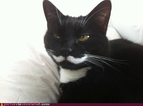 cat sir moustache - 6567620608