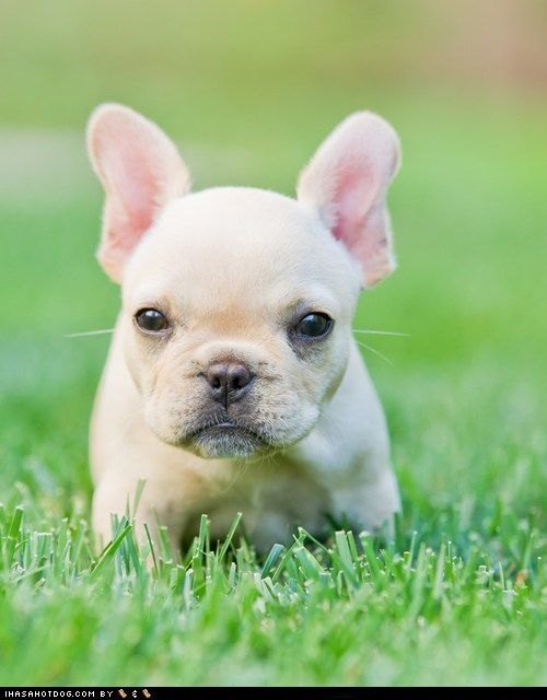 cyoot puppy ob teh day dogs ears french bulldogs puppy tiny - 6568117760