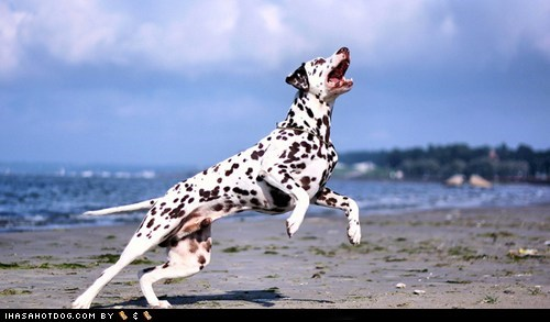 dalmatian dogs face off goggie ob teh week versus