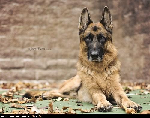 dogs face off german shepherd goggie ob teh week versus - 6568144128