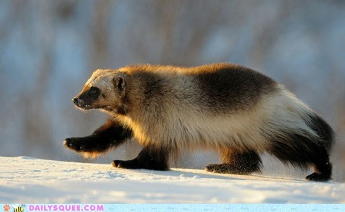 claws,feet,furry,snow,squee spree,wolverine