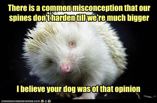 albino animals,dogs,harden,hedgehog,misconception,needle,nose,opinion,poke,spines