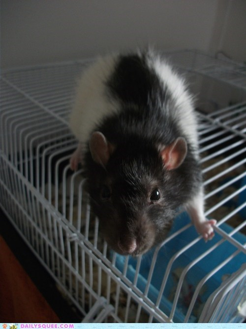 cage floofy gandalf pet rat reader squee snack