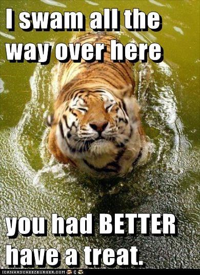 eating hungry lake swimming tiger treat - 6569768448