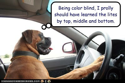 dogs,boxer,car,driving,color blind,traffic lights