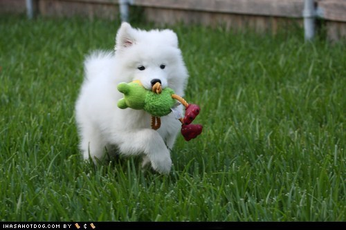 cyoot puppy ob teh day,dogs,grass,puppy,samoyed,toy