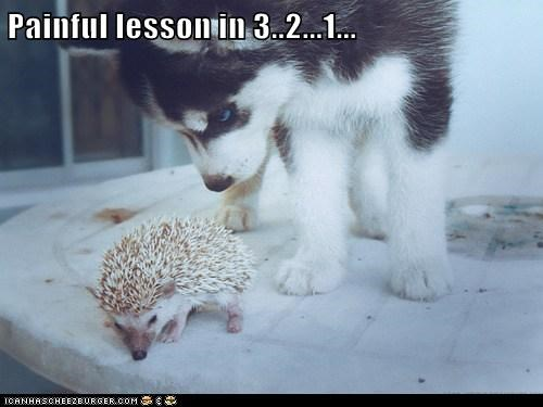 321,dogs,hedgehog,husky,lesson,painful,prickly,spikey