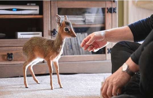 animal photos antelope photos miniature true facts - 6571013