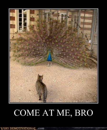 cat come at me bro peacock - 6571105792