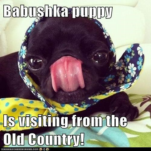 dogs pug babushka scarf tongue licking old country - 6572107776