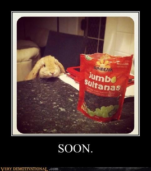 hungry rabbit raisins SOON - 6573819392