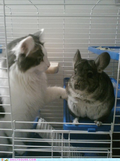 cage cat chinchilla Interspecies Love pet reader squee - 6575238400