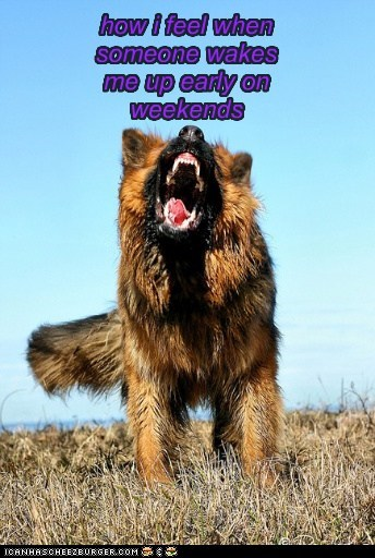 dogs,german shepherd,weekends,sleeping in,angry,beware