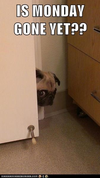 dogs pug mondays scary hiding - 6575844608