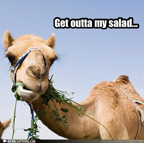 camel,chewing,eating,get out,photographer,salad