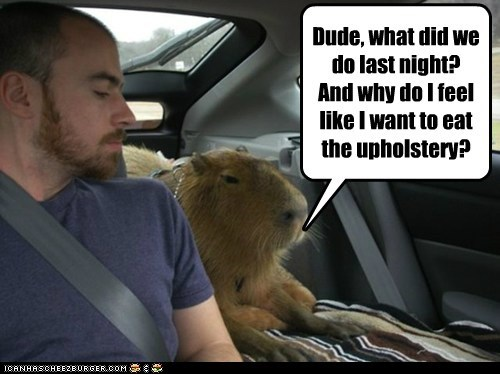 capybara,dude,transformation,upholstery,what did we do