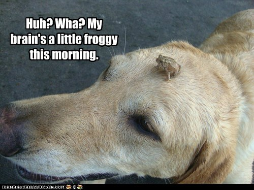 dogs,golden retriever,frog,foggy,not a morning person