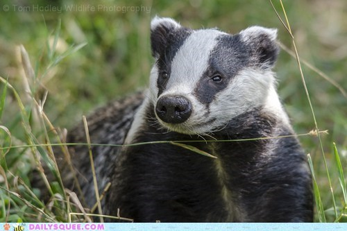 smiling badger black and white squee delightful insurance - 6576486656