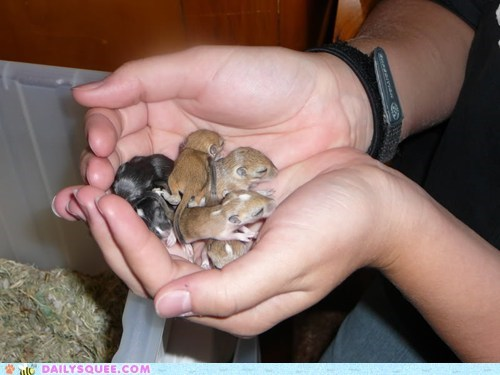 baby gerbil newborns pet reader squee tails tiny - 6576519168