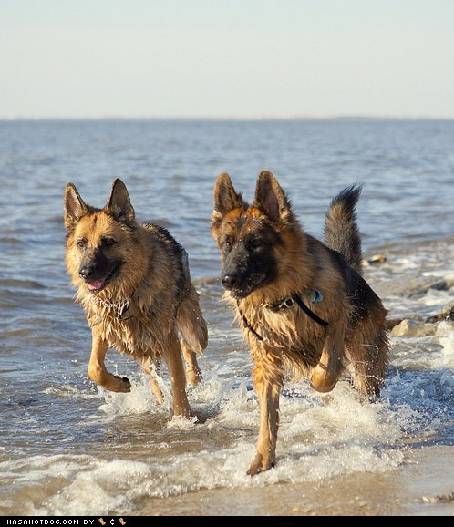 beach dogs german shepherd goggie ob teh week swimming water wet - 6576656128