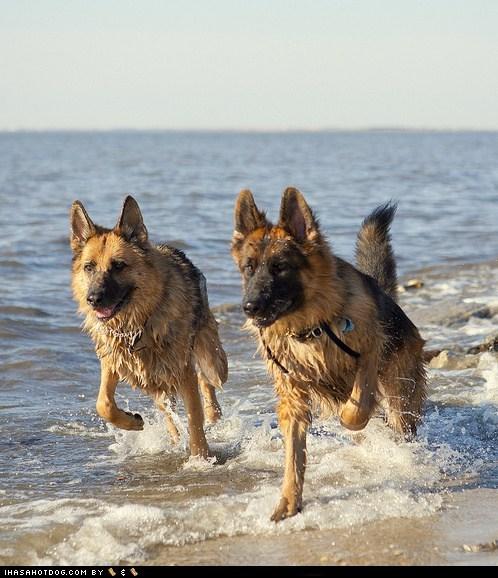 beach dogs german shepherd goggie ob teh week swimming water wet - 6576656128