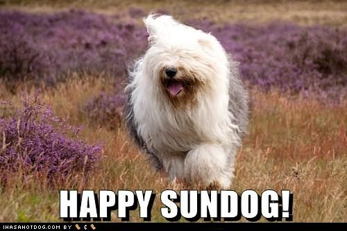 dogs,field,Fluffy,happy sundog,old english sheepdog,Sundog,wildflowers