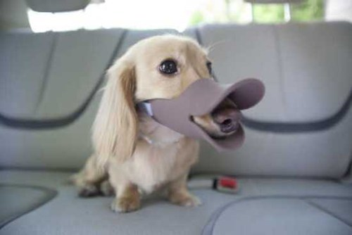 dogs,duck,japan wtf,muzzle,quack