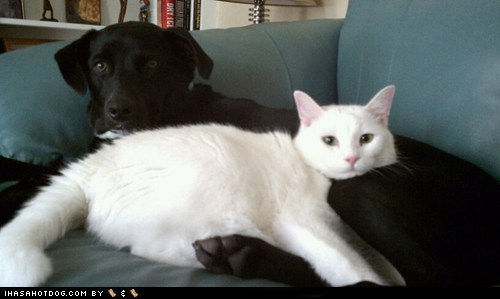 black and white cat dogs kittehs r owr friends what breed yin yang - 6578274816