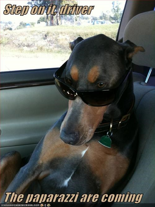 dogs sunglasses doberman pinscher paparazzi celeb