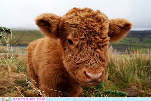 calfs floofy unibrow squee cows - 6578337024