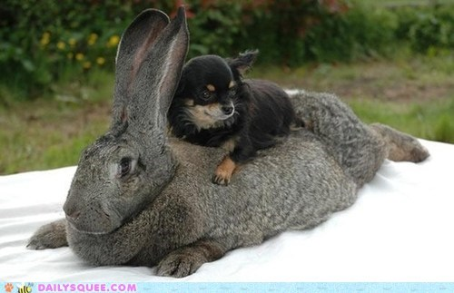 bunny chihuahua dogs Interspecies Love Pillow rabbit splort - 6578342656