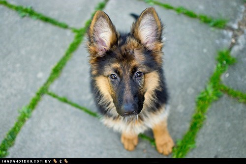 dogs,ears,german shepherd,goggie ob teh week,puppy,rin tin tin