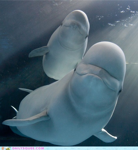 baby beluga whale mommy squee squee spree underwater whale - 6578890240