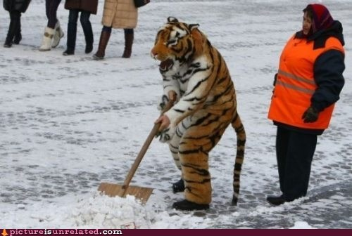 costume,snow shoveling,tiger