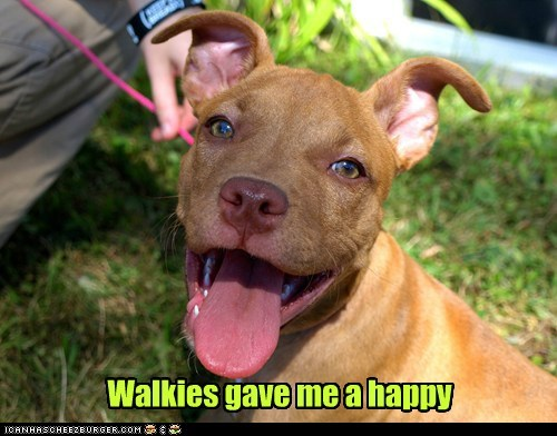 dogs puppy pitbull walks happy smile tongue