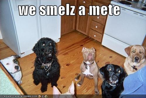 hungry labrador meat pitbull - 658259712