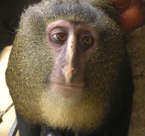 Afternoon Snack lesula monkey monkeys new monkey species new species potato jesus squee weird wtf