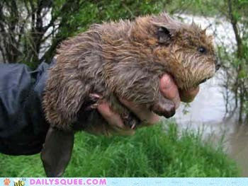 beavers,river,wet,handful,tail,squee