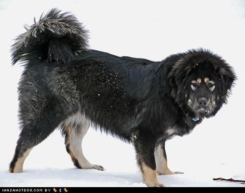 dogs,face off,goggie ob teh week,tibetan mastiff,versus