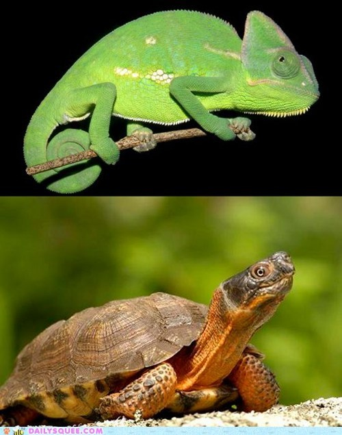 chameleon face off squee spree turtle versus