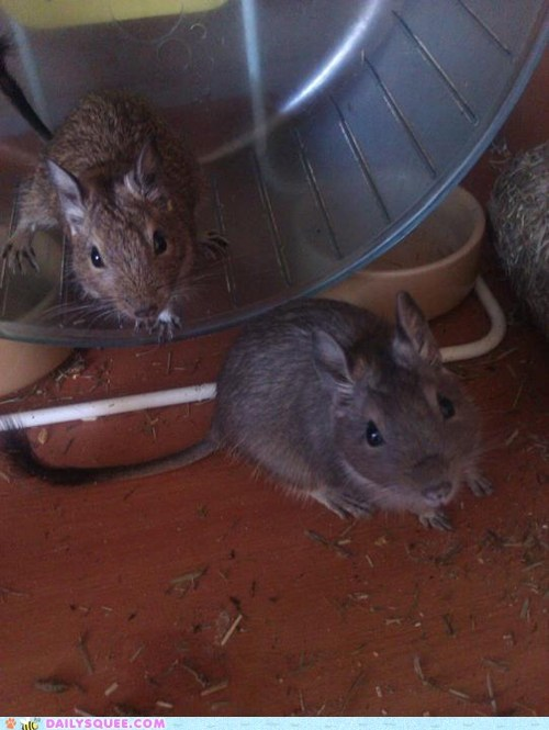 degus pet reader squee rodent trouble maker - 6584663040