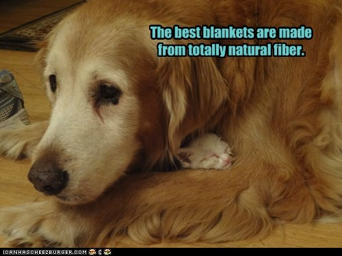 dogs golden retriever kitten cat cuddle blanket Interspecies Love kittehs r owr friends