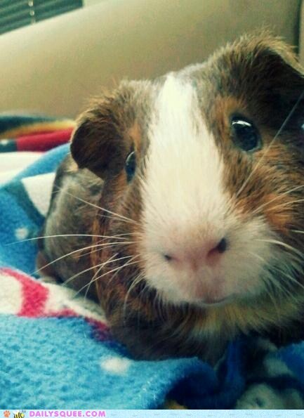 close up guinea pig pet reader squee whiskers