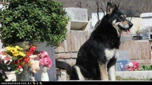 cemetery,devoted,dogs,german shepherd,german shepherds,grave,heart breaking,loyal,vigil