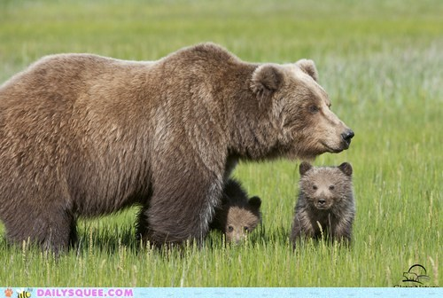 Babies mama grizzly bear bear bear cubs squee - 6585305600