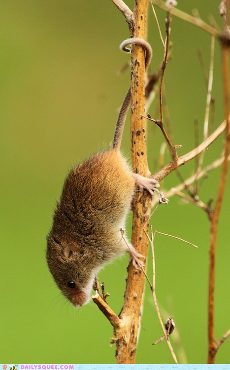 climbing,hanging,smart,rodent,tail,squee,mouse