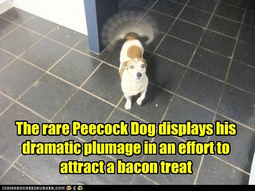 The rare Peecock Dog displays his dramatic plumage in an effort to attract a bacon treat