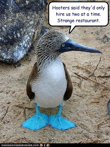 blue-footed boobies,hooters,restaurant,strange,two,job,bird